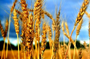 Not just in Iowa: wheat grows in NY. Photo: by Bern@t